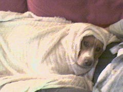 My dog Jake gets ready for sub-freezing temps... even though he's an indoor dog