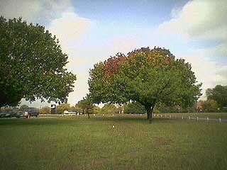 Fall Colors In Texas Tree: Fort Worth, Texas, Nov. 23, 2004. Image links to larger version.
